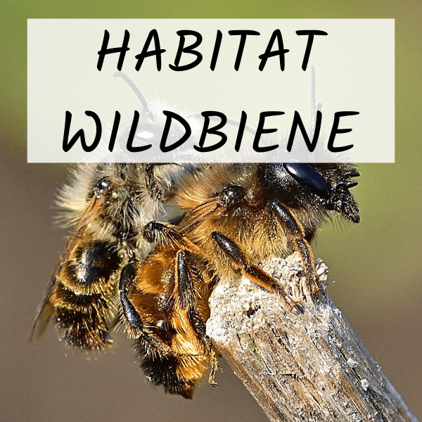 Werden Sie jetzt Blühpate des Projekts Habitat Wildbiene