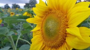 Blühende Sonnenblumen auf der Blühfläche