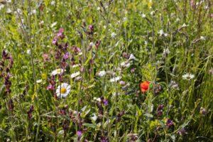 Vorteile Blühpatenschaft Blühwiese